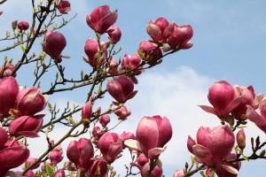 magnolien2